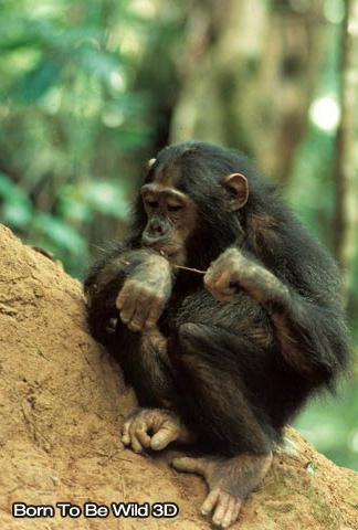 Thillaye Productions - Jane Goodall's Wild Chimpanzees IMAX - Image 1